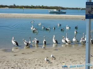 pelicans-labradorP1050393