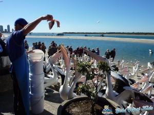 pelicans-labradorP1050468
